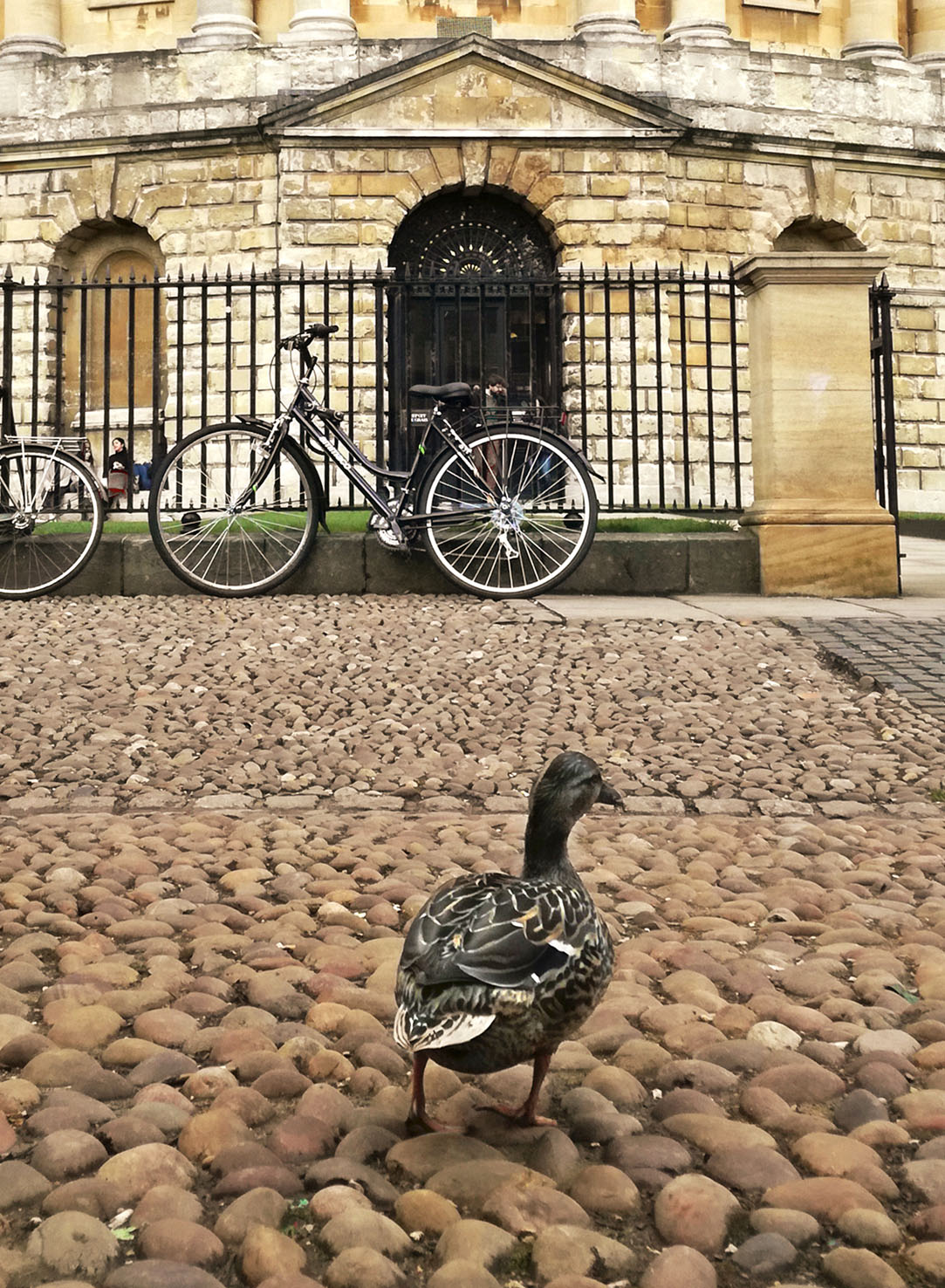 A photograph of a mallard duck outside the Radcliffe Camera
